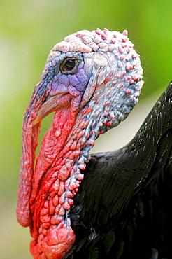 Wild Turkey - 817-175084