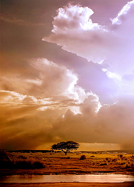 Solitary tree waiting for a storm coming in the lands of the Serengeti park in Tanzania.