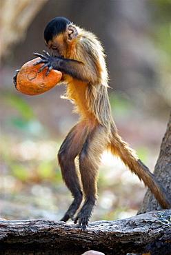 Weeping Capuchin (Cebus olivaceus) tool working with stone and palmnut, Cerrado tropical savanna ecoregion, Piaui, Brazil