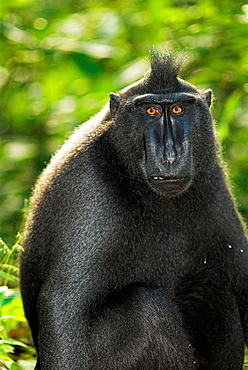 Celebes black ape (Macaca nigra), sitting and looking to the camera, rainforest, Tangkoko National Park, Sulawesi, Indonesia