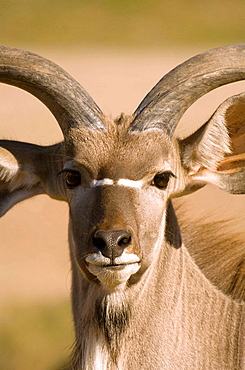 Portrait of a male Greater Kudu (Tragelaphus strepsiceros), Samburu reservation in northern Kenia