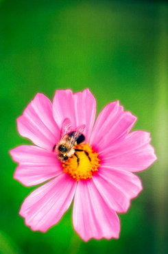 Bee on a pink Cosmos Flower, Cosmos bipinnatus, Augist 2006, Maryland, USA
