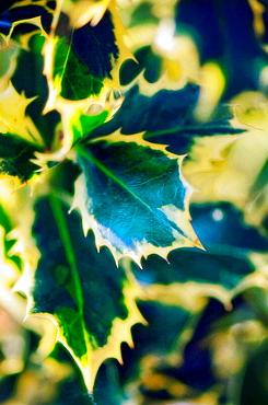Holly Leaves, Ilex aquifolium, December 2006, Maryland, USA