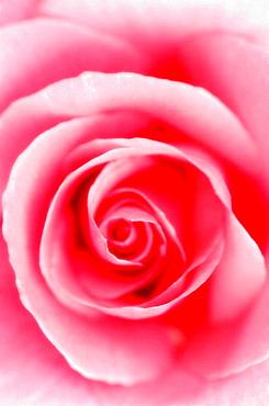 Pink Rose Swirl, Rosa hybrid, May 2005, Maryland, USA