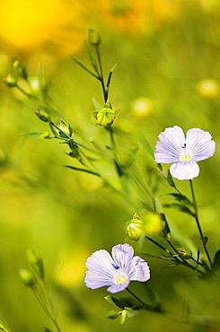 Blue Flax, Linum usitatissimum