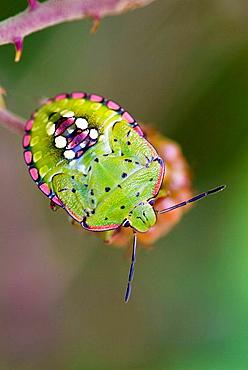 Common bug, Nezara viridula
