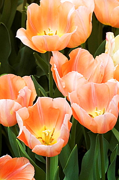 Peach-colored tulips blooming in the spring