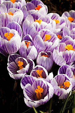 Purple and white crocus in bloom in early spring