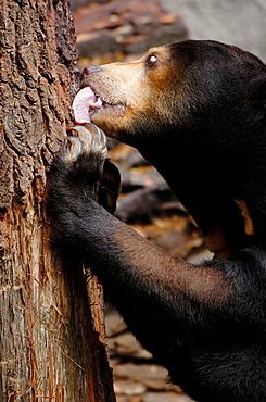 Malayan sun bear licking food on a trunk (Helarctos malayanus) captive