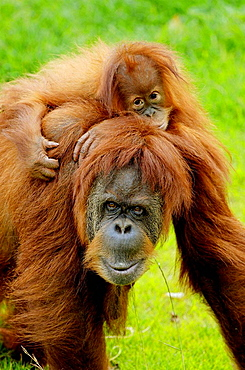 Female Orang utan (Pongo pygmaeus) carrying baby, captive, red list of endangered species