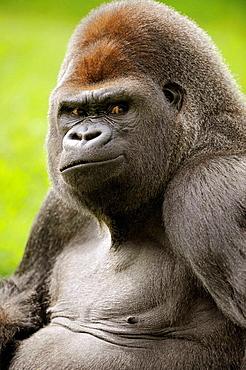 Head portrait of male silverback western lowland gorilla (Gorilla gorilla gorilla) captive, IUCN Red list Critically endangered CR