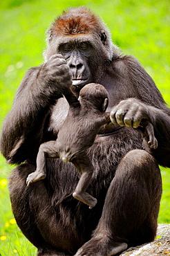 Western lowland gorilla mother holding baby (Gorilla gorilla gorilla) captive, IUCN Red list Critically endangered CR