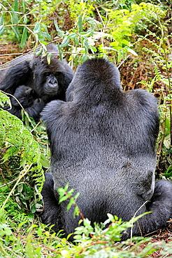 Mountain gorilla family (Gorilla beringei beringei) Volcanoes National Park, Rwanda, Africa