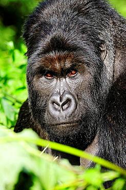 Portrait of silverback mountain gorilla male (Gorilla beringei beringei) Virunga National Park, Democratic Republic of Congo, Africa