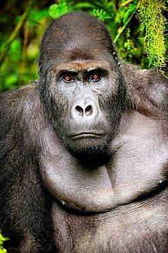 Silverback eastern lowland gorilla portrait in the equatorial forest of Kahuzi Biega Park (Gorilla beringei graueri) Democratic  Republic of Congo, Africa