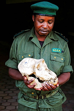 Guard holding a cranium of silverback eastern lowland gorilla in his hands, Kahuzi Biega Park (Gorilla beringei graueri) Democratic  Republic of Congo, Africa