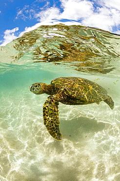 Green Turtle, Chelonia mydas, Oahu, Pacific Ocean, Hawaii, USA - 817-185361