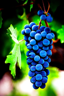 Grapes from the Priorat region  Designation of origin or wine appellation  Quality wines  Catalonia