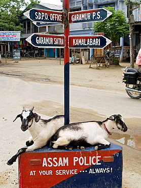 goats resting in an intersection on Majuli Island in Assam India
