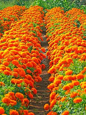 Field of Marigold flower, Botanical: Calendula officinalis (LINN.) Family: N.O, Compositae, A orange colored flower with many petals, Pune, Maharashta, India.
