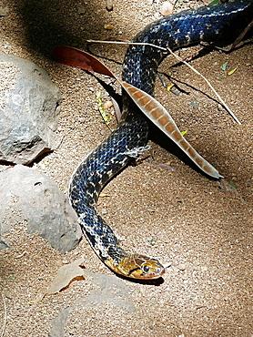 Xenochrophis piscator Checkered Keelback Water Snake  Non venomous, Paniwala or Nadiwala Sanp, This specie possesses great variation in colour  Snake park, Pune, Maharashtra, India