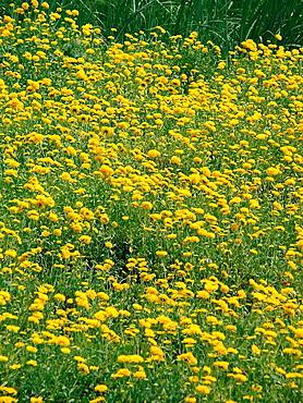 Field of Calendula officinalis flowers