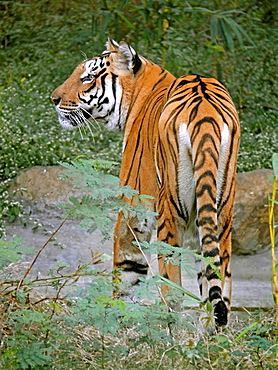 Indian Tiger Bengal tiger Panther Rajiv Gandhi Park, Katraj, Pune, Maharashtra, India