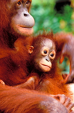 Borneo, Tanjung National Park Orangutan (Pongo Pygmaeus) mother with baby