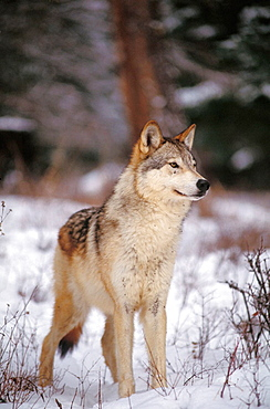 The Gray Wolf (Canis lupus) also spelled Grey Wolf, also known as Timber Wolf,is a mammal in the order Carnivora, The Gray Wolf shares a common ancestry with the domestic dog
