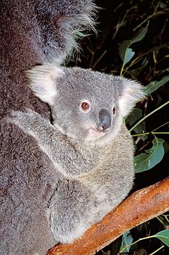 Mother and baby Koala (Phascolarctos cinereus) Australia, Kangaroo Island.
