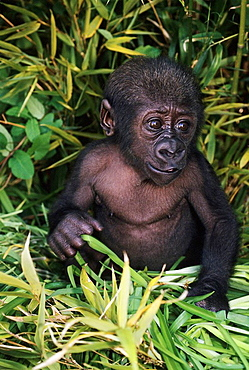 One week old Bany Gorilla