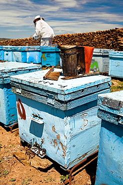 Beekeeper working with hives, Beekeeping in the Arribes del Duero Natural Park, Hinojosa del Duero, Salamanca, Castilla y Leon, Spain