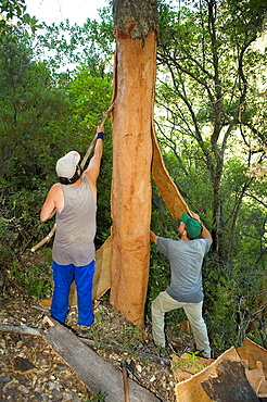 Two workers removing the cork from a cork oak in the Valle de Las Batuecas, inside the Las Batuecas-Sierra de Francia Natural Park, Sierra de France, in the province of Salamanca, Castilla y Leon, Spain
