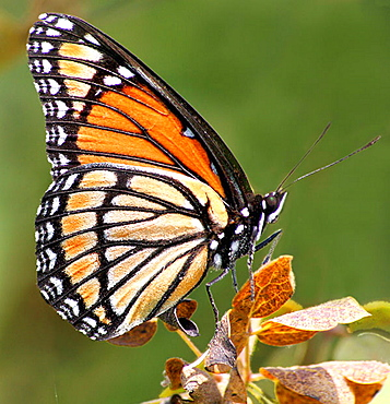 Viceroy (Monarch mimic)