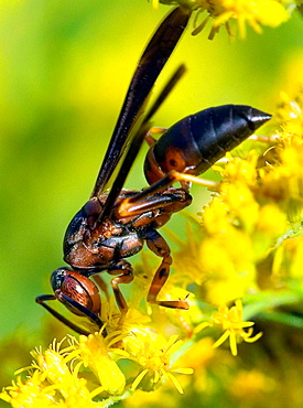 Paper wasp, Polistes metricus, on goldenrod