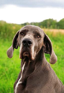 Dog, Great Dane