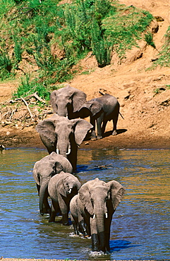 Elephants, Masai Mara, Kenya