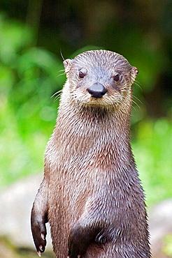European river otter in the Scottish Highland region, UK