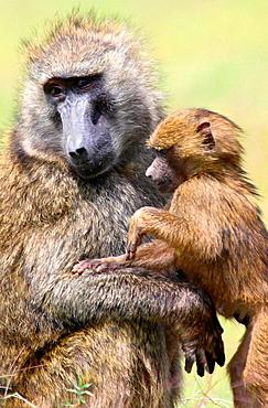 Baby and adult chacma baboon in Lake Nakuru National Park, Kenya