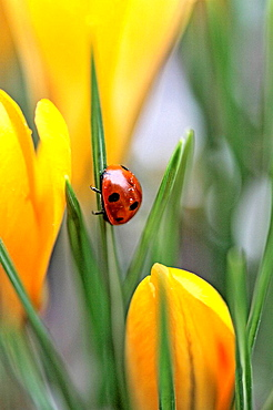 Seven spot ladybird climbs a leaf in midst of yellow crocus  Coccinella septempunctata The beetle has raindrops glistening on her back from an overnight rainfall  Yellow crocus of early spring  The beetles just came out of hibernation under the crocu