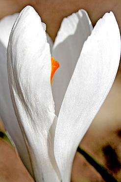 White crocus greet the sun in a garden