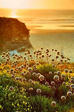 Beach Wildflowers, Praia do Malhao, Vila Nova de Milfontes, Alentejo, Portugal