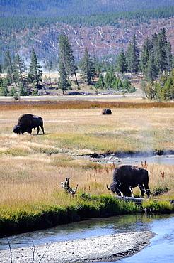 Bison Bison Bison, Yellowstone National Park, Wyoming, USA
