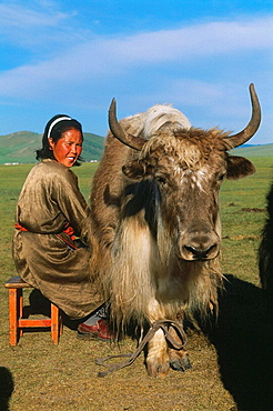 Nomad woman milking a yak, Hotont district, Arkhangai province, Mongolia
