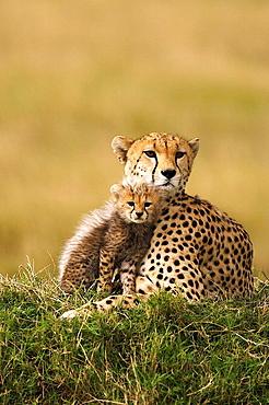 Cheetah with her cub in the Masai Mara, Kenya