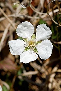 Running Raspberry (Rubus sp.)