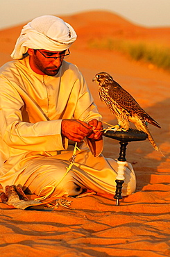 Arab falconer ties his hunting falcon to a falcon block-perch after a training session in the desert, Dubai, United Arab Emirates, UAE