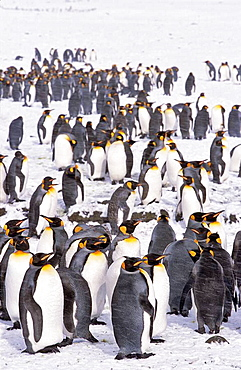 King Penguin Aptenodytes patagonica colony in snow during snowstrom, St  Andrews Bay, Island of South Georgia, November 2003