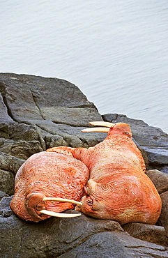 Pacific Walrus Odobenus rosmarus divergens  Round Island, Alaska, USA, North America   two male are resting on a rock