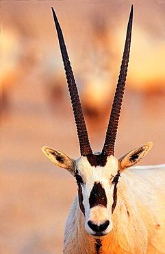 Arabian Oryx Oryx leucoryx on Sir Bani Yas Island, United Arab Emirates, April 2001